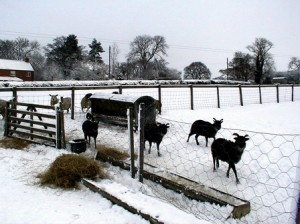 Soay sheep in snow in Yorkshire