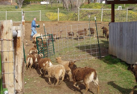 Anti-tetanus vaccinations for Soay sheep:  An ounce of prevention
