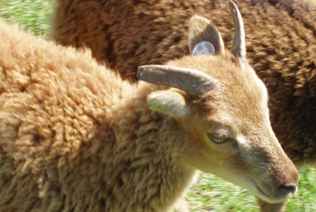 A Soay by any other name is still …