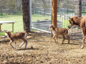 Soay twins taking a stroll with their watchful mother