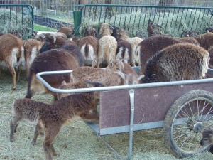 Soay lambs exploring the hay cart