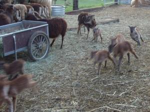 Hi-ho Soay lambs, a-waaay!