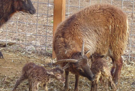Twin Lambs:  the Multi-tasking Soay Ewe in Action