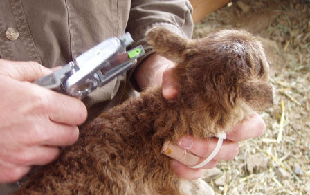 Working a baby Soay sheep – the Lambing Kit in action