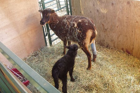 Break A Leg:  Venus lambs successfully, and how!