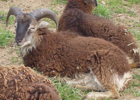 The Annual Physical: Working adult Soay sheep with a kit