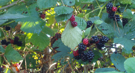 07blackberries-005a.jpg