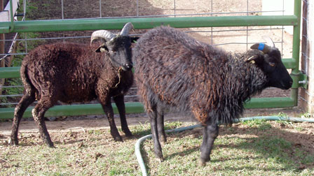 Soay ram lambs:  Whether to wether, when, and how