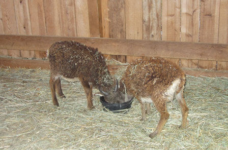 The mystery of slow-growing Soay sheep lambs