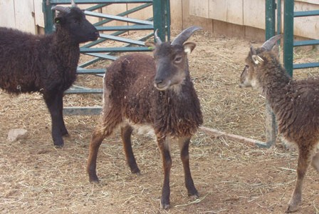 Using body temperature to diagnose disease or injury in a Soay sheep