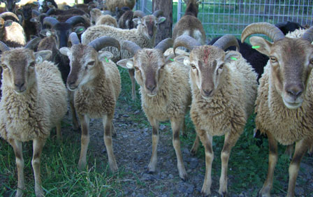 To tag or not to tag, that is the question for Soay sheep owners