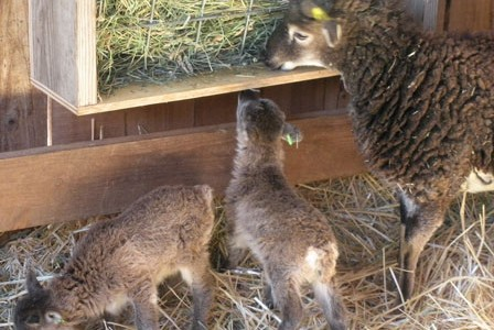 A Soay lambing crisis update:  All's well so far