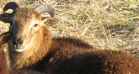 "The ""Greening"" of Soay Sheep"