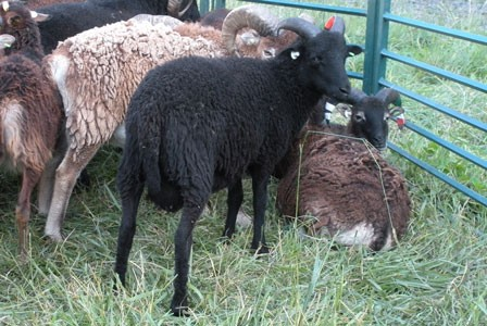 Air Soay – flying the friendly sheep to new owners