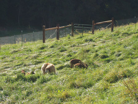 Saltmarsh Ranch pasture about to be eaten by hungry Soay sheep