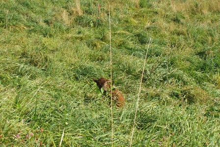 Do Soay sheep really prefer weeds to grass?  Photographic evidence
