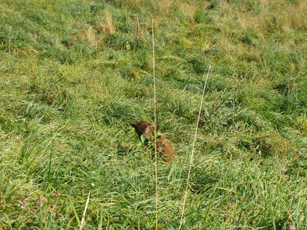 Soay sheep in grass pasture