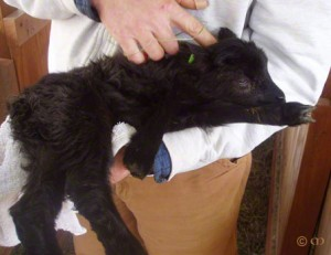 AI ewe lamb Vieva at age one day