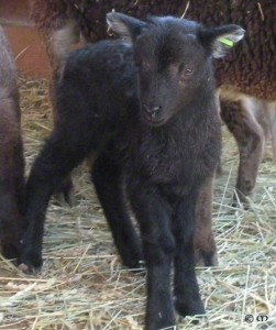 AI ram lamb Buckley at age 6 days