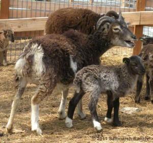 AI ewe lamb Tylesley at age 6 days