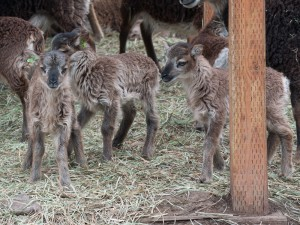 Soay lambs without their moms beside them look a lot alike