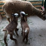 Twin Soay lambs sport both ear tags and big blotches of white