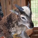 Twin Soay ewe lamb, same spotting and green eartage