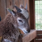 Soay lamb with white spotting and green eartag