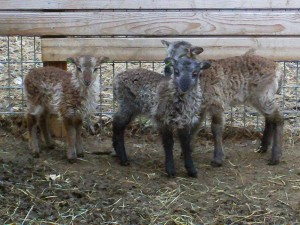 Soay lambs with baby ear tags