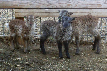 Baby ear tags for Soay lambs: where to get them and why