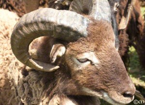 British Soay sheep:  the next generation of fleece colors and patterns