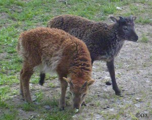 Light phase AI ewe Blakeney & charcoal twin Barwick