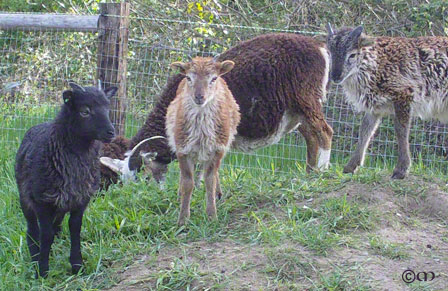 Genetic diversity in action - 2010 British Soay lambs