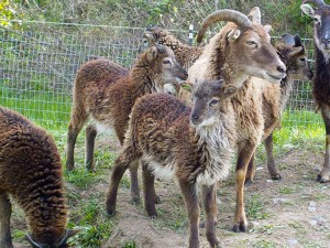 Twin Soay lambs need eartags to tell them apart