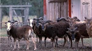 Berci flock in early 1990s