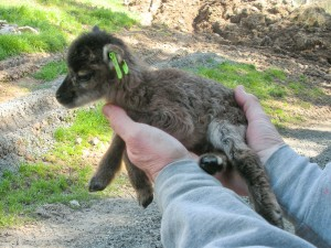 tiny British Soay lamb at age ~6 hours