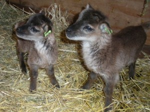 curious miniature twin Soay lambs