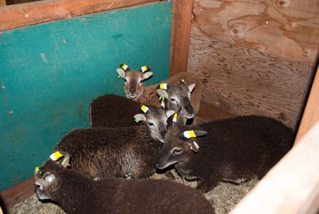 Jugs – they're not just for Soay lambing any more