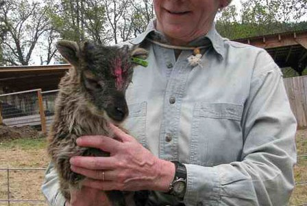 Miniature Soay lamb grows up