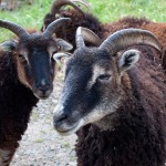 Soay ewe with high swept back horns