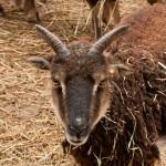 Short Soay ewe horns