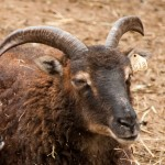 Soay ewe with wide flared horns