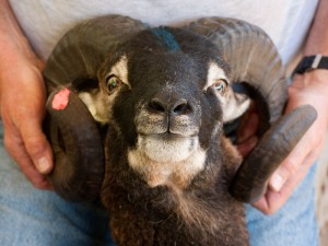 soay ram horns face view