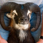 Soay ram with medium angle horns no tilt