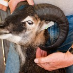 soay ram horn must be cut