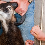 trimming soay ram horn