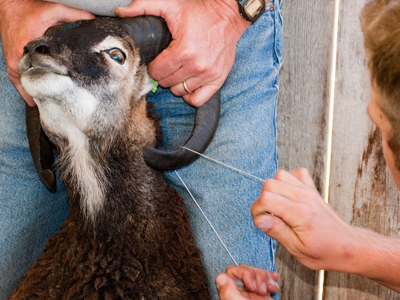 How Much Ram Do I Need >> Soay Sheep Horns, Part 2: When to trim or not trim : The Soay Sheep Chronicles