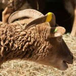 Soay ewe with swept back horns