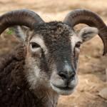 Large diameter Soay ewe horn