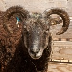 Soay ewe with horns in Mickey Mouse spiral